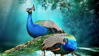 Peacock Background Peacocks 4k Pair Animal Wallpapers