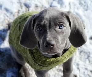 Blue Eyed Weimaraner Puppy | www.pixshark.com - Images ...