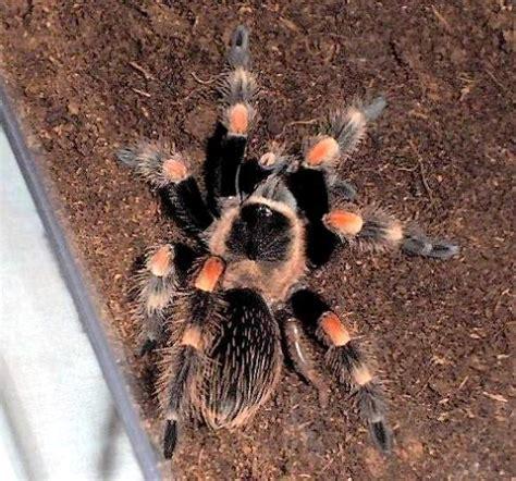 tarantula shedding its exoskeleton 100 tarantula shedding its exoskeleton spider