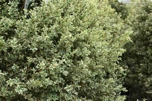 English Boxwood Evergreen Shrub