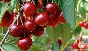 Taille De Cerisier : comment planter tailler entretenir un cerisier ~ Melissatoandfro.com Idées de Décoration