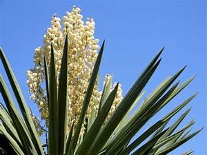Yucca Palme Winterhart : yucca palme wissenswertes zur bl te der palmlilie ~ A.2002-acura-tl-radio.info Haus und Dekorationen