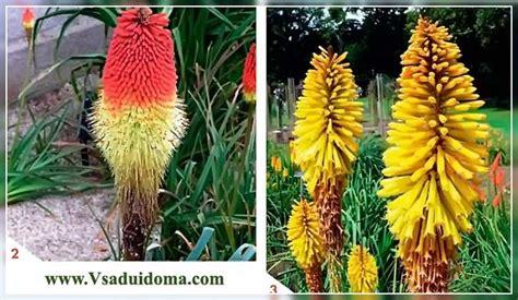 Knifofiya (foto) ziedu stādīšana un kopšana atklātā zemē ...