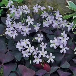 Oxalis Purple Shamrock Plant