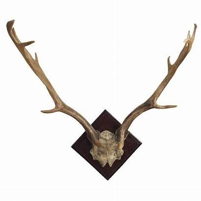 Deer Antlers Antler Mount Fallow