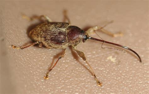 weevil bug brown animals