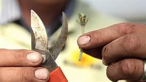 Ahorn Vermehren Steckling : aus eins mach zwei zimmerpflanzen vermehren ~ Lizthompson.info Haus und Dekorationen