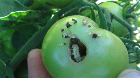 hybridization   major crop pests creates  mega