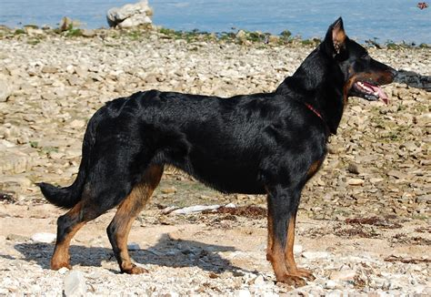 beauceron pictures wallpapers