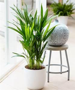 palmier areca With nice idee decoration jardin exterieur 14 palmier plantation taille et entretien