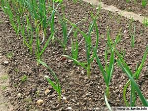 Cultiver De L Ail : ail planter cultiver r colter ~ Melissatoandfro.com Idées de Décoration