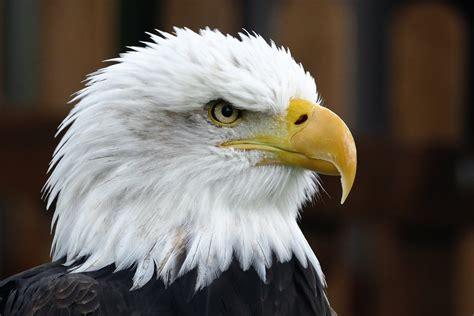 Eagle head free image download