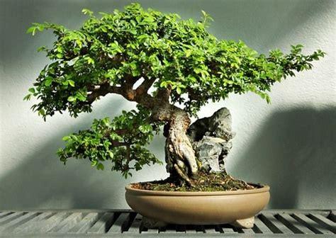 bonsai baum pflege ulme bonsai baum pflege standort indoor garten ideen bonsai elm bonsai indoor