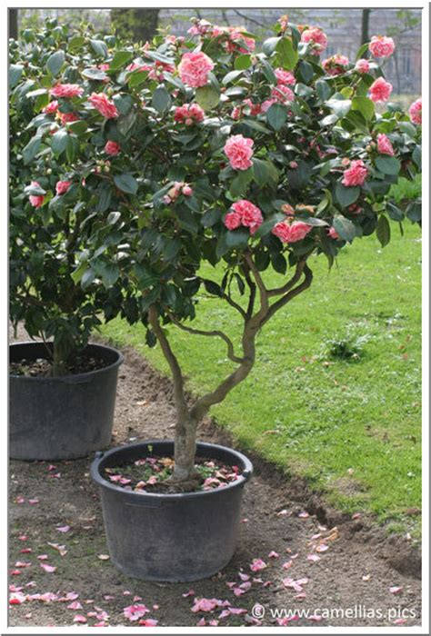 caring for camellias in pots camellia care