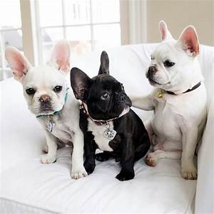 Frenchies | Adorable Animals :0 | Pinterest