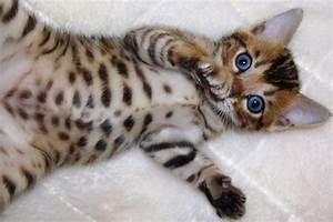 Bengal Cat Purrfect Cat Breeds