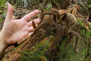 Nature Can Do That?: Goliath Bird-Eating Spider