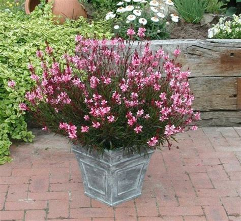 easy to grow perennials gaura one of my favorites easy to grow perennial that flowers from spring to fall