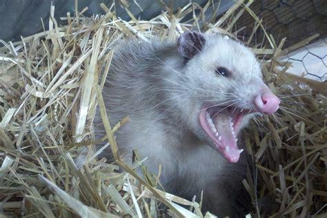 Possum Images Free Photo Opossum Possum Teeth Fur Animal Free