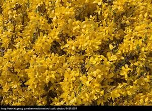 Busch Mit Gelben Blüten : gelbe bl ten einer ppig bl henden forsythie in lizenzfreies bild 14515307 bildagentur ~ Frokenaadalensverden.com Haus und Dekorationen