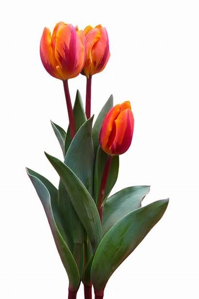 Tulip Bunga Gambar Pixabay Nature Flower