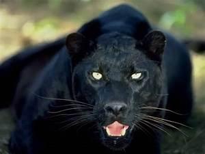 Black Panther ~... Black Panther