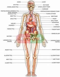 Diagram Of Female Internal Organs   Diagram Of Female