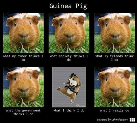 Funny Pig Memes - resultado de imagem para guinea pig funny pictures memes presunto pinterest funny guinea