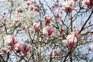 Baum Mit Blüten : gro e bl ten mit rosa magnolie am baum stockfoto colourbox ~ Frokenaadalensverden.com Haus und Dekorationen