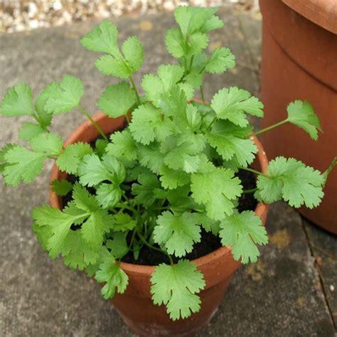 buy  cost corander seed  irelands garden shop