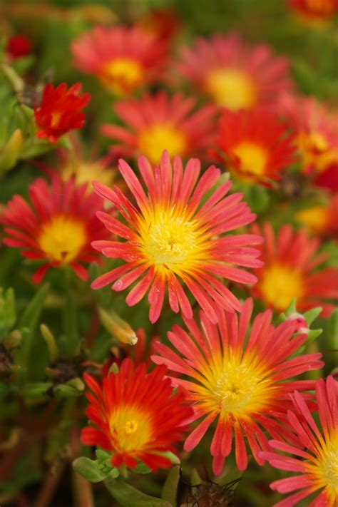 button  fire trailing iceplant delosperma hybrid