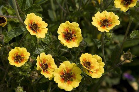 Potentilla Esta Ann - De Vroomen Garden Products ...