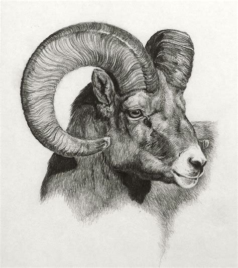 ram graphite  paper  heather theurer antler