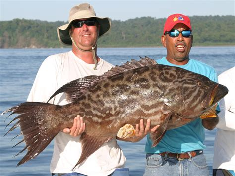 grouper broomtail fish fishes record mycteroperca largest biggest caught fishing huge panama giant ever records massive