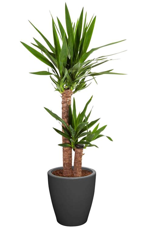 yucca en pot plante verte mon fleuriste boutique
