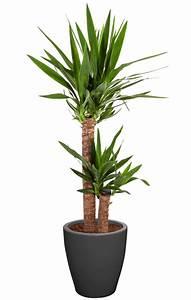 Entretien Plante Verte : entretien plante yucca ~ Medecine-chirurgie-esthetiques.com Avis de Voitures