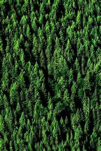 Aerial Pine Tree Forest