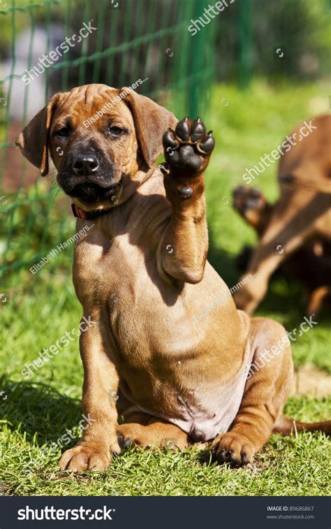 rhodesian ridgeback shedding problem image of rhodesian ridgeback hound puppy high