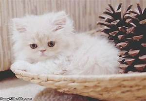 Cute Fluffy Persian Kittens | www.imgkid.com - The Image ...
