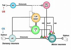 A Simplified Diagram Of The Neural Circuit Controlling The