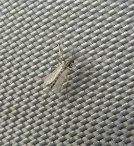 Kleine Fliegen Im Blumentopf Hausmittel : stechende insekten wadenstecher stechende fliege stechfliege kleine schwarze stechende ~ Whattoseeinmadrid.com Haus und Dekorationen