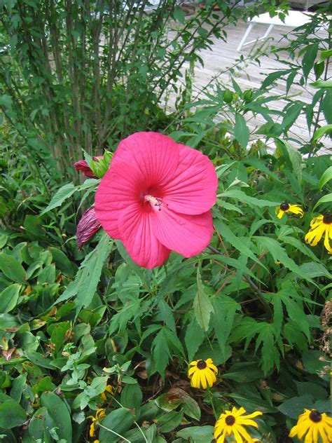 hibiscus care journeys and jonquils plant care profile sw rose mallow hibiscus moscheutos