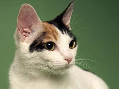 japanese bobtail information characteristics facts names
