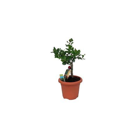 chene vert en pot ch 234 ne li 232 ge en pot d 233 co gt gt livraison express plantes et jardins
