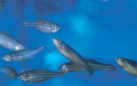 ifom zebrafish