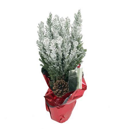 european cypress christmas tree blue european cypress tree indoors out 6 quot pot decorated walmart