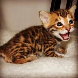 baby bengal cat baby bengal cats