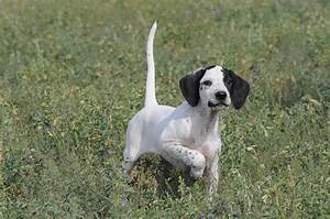 Pointer Breed Guide - Learn about the Pointer.