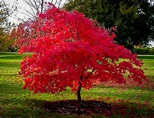 Flame Amur Maple For Sale Online | The Tree Center  Maple