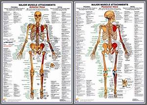 Major Muscle Attachments Anatomy Poster Combo
